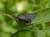 Think this may be a Purple Hairstreak