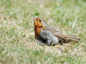 Robin Sunbathing