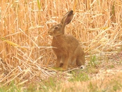 Leveret has wheat for breakfast.