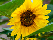 Sunflower - a symbol of summer