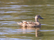 Mallards in the pond at Neatherd Moor