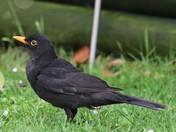 blackbird ..