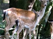 doe and fawn keeping cool in the shade