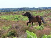 Dartmoor Ponies in high spirits