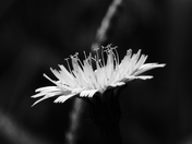 Common Hawkweed