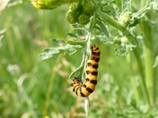 Cinnabar moth caterpillar feeding on ragwort.