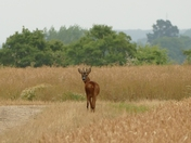 Young stag has spotted me.