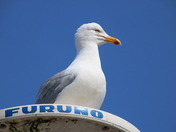Look Up: Gull