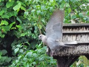 THE WONDERFUL COLLARED DOVE