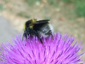 Thistles coming into bloom