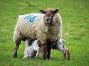 Lambs at Felbrigg Hall estate