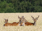 Fallow deer in sunshine