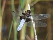 Broard-bodied chaser