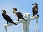 Cormorants basking on a mill sail