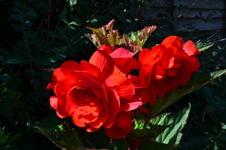 Begonia in full bloom