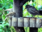 "YOUNG STARLINGS - PART 14  ""HALLO MR HOUSE SPARROW"""