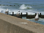 I'M WATCHING YOU, GULLS AT WALCOTT
