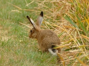 Leveret( a young hare)