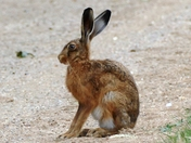 Brown hare in superb condition.