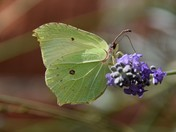 Beautiful Brimstone Butterfly