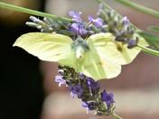 Beautiful Brimstone Butterfly