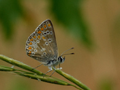 Northern Brown Argus in Cumbria.