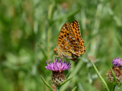 High Brown Fritillary in Cumbria.