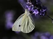Lovely Butterflies