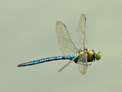 Emperor Dragonfly at Lackford Lakes yesterday