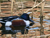 SHOVELER DUCK AT PENSTHORPE NATURAL PARK