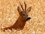 Roe Buck in the wheat field.