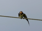 Young Swallow on the power cable .