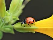 Ladybird Walking the Plank