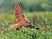 Hunting Marsh Harrier