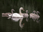 Mother Swan and Cygnets.