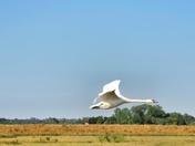 FlyBy Swan