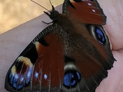 Rescued butterfly