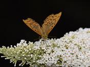 Fritillary Butterflys in the Garden