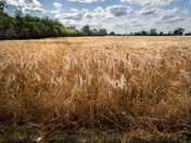 Fields of gold at North Burlingham