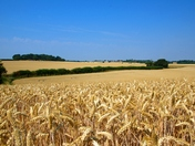 Still some wheat left to cut in Hadleigh
