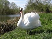 Swan on the Stour river bank at Sudbury.