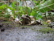 A edible frog near my pond