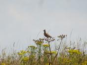 A skylark resting