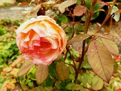 Rose battered by the torrential rain.