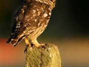 Little Owl and wasps!