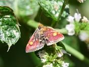 Lovely little Mint Moth
