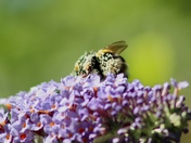 Bees busy on the buddleia