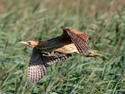 Bittern in flight