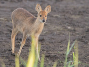 A Young Chinese Water Deer