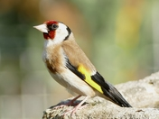 Portrait of a handsome Goldfinch.